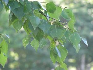 シンボルツリー,落葉,常緑,庭木 西日の強い場所にシンボルツリーを植えるポイントをお話します。地